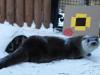 Выдра из Челябинского зоопарка стала помощником Деда Мороза