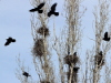 Грачи прилетели: в челябинском детсаду снимают гнезда птиц